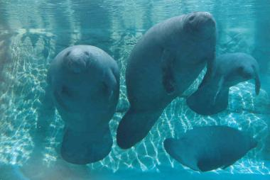 Columbus Zoo - Manatees